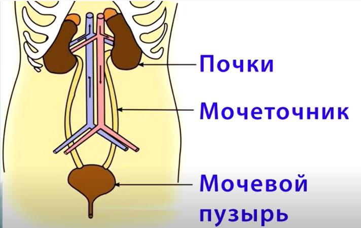 функкции почек в организме человека